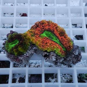 イボハタガタサンゴ