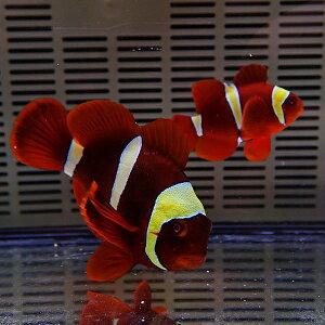 【現物】スパインチークイエローバンドペア♂9cm±♀5.5cm±!海水魚クマノミ餌付け【クマノミ】