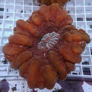 コハタガタサンゴ