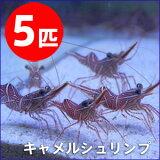 キャメルシュリンプ 【5匹】 約3-5cm±! !【15時までのご注文で当日発送】海水魚 クマノミ【エビ】