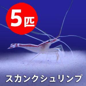 スカンクシュリンプ Sサイズ 【5匹セット】! 海水魚 エビ 餌付け・ 【15時までのご注文で当日発送】【エビ】