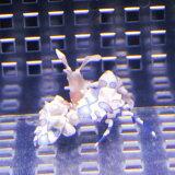 フリソデエビ 【2匹】 海水魚 エビ!【15時までのご注文で当日発送】【エビ】