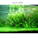 アナカリス(10本) 水草 メダカ・金魚藻 国産 送料無料 即日発送