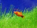 (熱帯魚) レッドミッキーマウスプラティ 【1匹】 生体