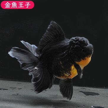 【金魚王子】ブラックローズテールオランダ(13センチ前後) 個体番号dfg127 金魚 きんぎょ 生体 オランダ 厳選個体