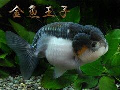 【金魚王子】 ★☆珍個体!☆★透明鱗白黒(パンダ)らんちゅう (12cm) 1匹