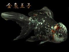 ojk-0112【金魚王子】 ☆★極上個体★☆上海産2歳白黒オランダ (17cm前後) 1匹