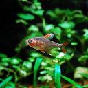 (熱帯魚) ホワイトフィンロージーテトラ 【1匹】 生体