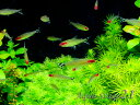 (熱帯魚) ラミーノーズテトラ (Mサイズ) 【1匹】 生体