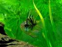 (熱帯魚) バルーンラミレジィ 【1匹】