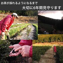 べにふうき粉末茶1袋40gべにふうきのセカンドフラッシュの粉末茶べにふうき国産べにふうき静岡県産べきふうき花粉の季節にべにふうき無農薬栽培一筋