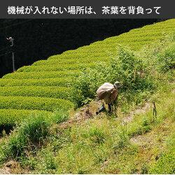 今すぐ対策◆有機栽培のべにふうきの粉末茶(べにふうき(3袋x1袋40g)べにふうきのセカンドフラッシュの粉末茶、べにふうき茶粉末、国産べにふうき粉末、紅富貴(日本茶)無農薬栽培一筋