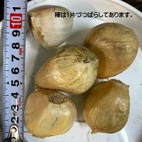 ジャンボにんにく 種 500g(鱗片約16コ)種はバラした状態です。大人の握りこぶし位になる大きさ 臭い味はマイルドでとても食べやすい 9〜10月植え 6〜7月収穫 スタミナ野菜 栽培説明レッテル付き 島根県産 国産 種 球根 ガーリック 栽培用