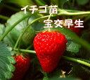 イチゴ苗 宝交早生 9センチポット 1苗 家庭菜園ならこの品種 果肉は柔らかく多汁 いちご苗 栽培 5〜6月収穫 プランター栽培OK いちご 栽培