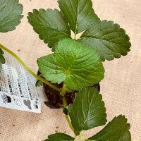 イチゴ苗 カレンベリー 9センチポット 1苗枯れにくい病気に強い 他品種と取り合わせ10苗まで同一送料 いちご苗 栽培 5〜6月収穫 家庭菜園  プランター栽培
