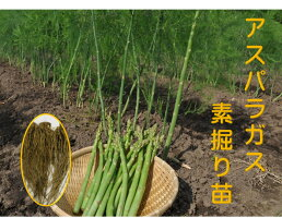アスパラガス1年生苗根株5株セット品種名グリーンタワー茨城県産翌々年の春から収穫一度植えれば10年間ほど収穫ができるといわれる多年生野菜