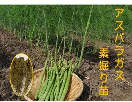 アスパラガス 1年生苗 根株 3株セット 品種名グリーンタワー 茨城県産  植え付けの翌々年の春から収穫 一度植えれば10年間ほど収穫ができるといわれる多年生野菜
