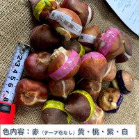 チューリップ球根送料無料20球色混合国産プランター栽培地植え可能育てやすい花10~1月植え3~4月開花