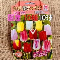 チューリップ球根 送料無料 10球 色 混合 国産 プランター栽培 地植え可能 育てやすい花 10~1月植え 3~4月開花 テープ巻球で色区別ができます