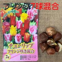 チューリップ球根 送料無料 7球フリンジ咲 色 混合 国産 プランター栽培 地植え可能 育てやすい花 10~1月植え 3~4月開花