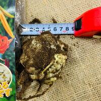 コオニユリ ユリ根 球根 栽培用 1球入り 北海道産 平暖地10~4月頃植え付け