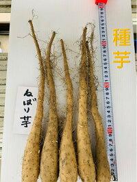 短形自然薯 種芋 ねばり芋 10本  収穫時の長さ40〜50センチ  短形とろろ芋 つる性 4月植え10〜11月収穫 簡易栽培資料付き