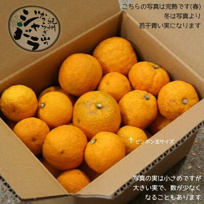 紀州かつらぎ山の柑橘フルーツ「ジャバラ」訳ありB級品(不揃い・傷あり/ご本人以外発送できません…