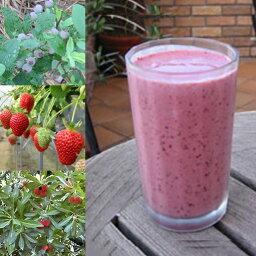 【冷凍便】和歌山産「ベリー・ベリースムージー」農家さんから直接分けてもらうくだもの(いちご+ブルーベリー+ラスベリー+ヤマモモ+オレンジ+みかんの花の蜂蜜)のフローズンフルーツジュース・冷凍果物