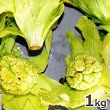 ご注文日4/9分 出荷中天然山菜・開きふきのとうまとめて1kg(大小バラ詰め)※送料別(クール便)