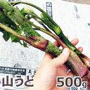 山うど500g予約販売【4月中旬〜発送予定】天然・山ウド50...