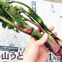 山菜 ウド