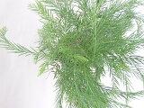 アカシアフィンブリアータ15cm鉢