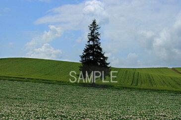 北海道 美瑛 クリスマスツリーの木 6切W写真 【RCP】 6W-329【楽ギフ_包装】