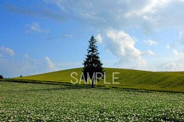 北海道 美瑛 クリスマスツリーの木 4切W風景写真 4W-330【楽ギフ_包装】