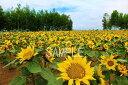 北海道 美瑛のひまわり 6切W写真 【RCP】 6W-66 風水黄色で金運アップの壁飾りやインテリアに美しい風景写真を。インテリア ディスプレイ 模様替え タペストリー 風景ポスターに最適。