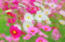 コスモス秋桜花6切W写真【RCP】 6W-102壁飾りやインテリアに美しい風景写真を。ディスプレイ 模様替え タペストリー 風景ポスターに最適。新築祝い 引っ越し祝いプレゼントなどにも。