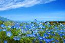 ネモフィラ花ひたち海浜茨城6切W写真【RCP】 6W-36壁飾りやインテリアに美しい風景写真を。ディスプレイ 模様替え タペストリー 風景ポスターに最適。新築祝い 引っ越し祝いプレゼントなどにも。