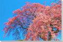 しだれ桜風景写真パネルクロス地壁飾りやインテリアに美しい桜の写真パネルを。インテリア ディスプレイ 模様替え タペストリー 風景ポスターに最適。新築祝い 引っ越し祝いプレゼントなどにも。