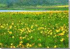日光キスゲ 雄国沼湿原 福島会津 風景写真パネル 65.2×45.5cm HN-66-M15 【楽ギフ_包装】 【楽ギフ_のし宛書】 【楽ギフ_名入れ】