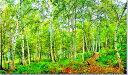 会津 博士山の白樺しらかば 風景写真パネ