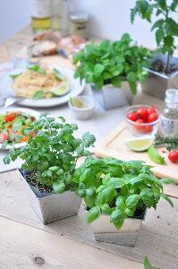 デリッシュガーデンパクチー栽培セットブリキ缶で育てる栽培キット観葉植物ガーデニング聖新陶芸ギフトプレゼント