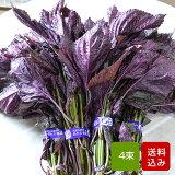 赤しそ 葉 1kg 4束 梅干し用 赤紫蘇ジュース用 福岡県芦屋産