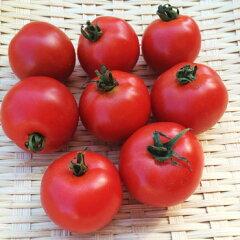 長崎県島原半島産 吉沢さんフルティカトマト ミディトマトぐらいの大きさで食べやすい♪フル...