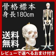 ★送料無料、レビューでおまけプレゼント★ 人体模型 骨 人間 骨格標本 骨格模型 全身 ...