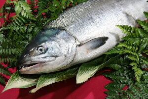北海道(鮭)生 秋鮭 メス 生筋子 3.5〜3.9キロ前後(銀毛)