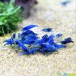 ダークブルーシュリンプ(藍糸龍ランシーロン)5匹セット