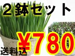 うちの農場の草が売れているには訳がある!!年間70万食以上売れてるのは密度ビッシリ!長さも選べ...