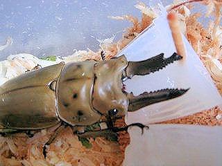 99プロテインゼリー 200個 または Pro200個(クワガタ・カブトムシ高タンパク昆虫ゼリー)安心の日本製「あす楽対応」【売れ筋】【オススメ】 画像2
