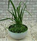 小型睡蓮鉢 TS−01 9号 ホワイト ウォーターガーデン ビオトープ創りに! スイレン鉢 すいれん鉢 メダカ鉢 めだか鉢 水生植物 園芸 和風庭園 ガーデニング