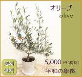オリーブの木【オリーブ】送料無料!【あす楽】【新築祝い】【開店祝い】